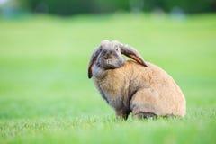 Klaff-gå i ax älsklings- kanin på grönt gräs royaltyfria bilder