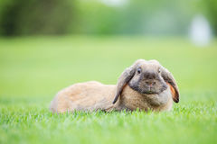 Klaff-gå i ax älsklings- kanin på grönt gräs parkerar in royaltyfria foton