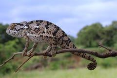Klaff hånglad kameleont royaltyfri fotografi