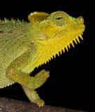 Klaff-hånglad kameleont, Kenya, Afrika arkivfoto