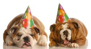 klagande hundar för födelsedag Arkivbild