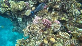Klamerka sohal surgeonfish sohal blaszecznica lub, Acanthurus sohal zdjęcie wideo