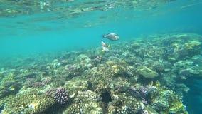 Klamerka sohal surgeonfish sohal blaszecznica lub, Acanthurus sohal zbiory