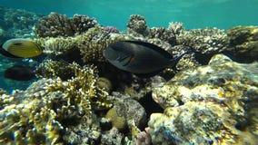 Klamerka sohal surgeonfish sohal blaszecznica lub, Acanthurus sohal zbiory wideo