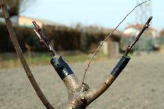 klamerki drzewo Obrazy Royalty Free