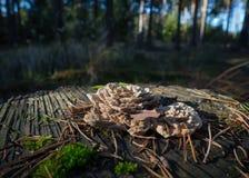 Klammer-Pilz im Wald Lizenzfreie Stockbilder