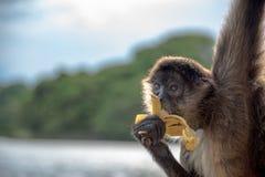 Klammeraffe, die eine Banane isst Lizenzfreie Stockfotografie