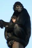 Klammeraffen - Zoo - Frankreich Lizenzfreies Stockfoto