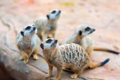 Klan av den Meerkats Suricatasuricattaen Royaltyfria Bilder