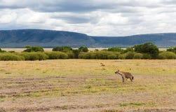 Klan av hyenor i savannah på africa Arkivfoto