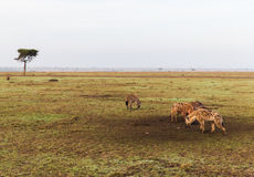 Klan av hyenor i savannah på africa Royaltyfria Bilder