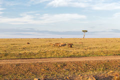 Klan hieny w sawannie przy Africa zdjęcie stock