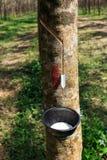 klapania lateksowy gumowy drzewo Obraz Royalty Free