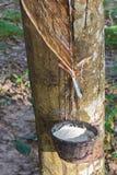 klapania lateksowy gumowy drzewo Obrazy Royalty Free