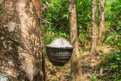 klapania lateksowy gumowy drzewo Zdjęcia Stock