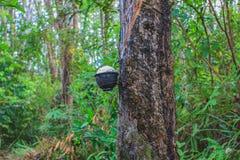 klapania lateksowy gumowy drzewo Zdjęcie Stock
