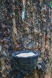 klapania lateksowy gumowy drzewo Zdjęcie Royalty Free