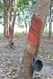 Klapanie lateks od gumowego drzewa Zdjęcie Royalty Free