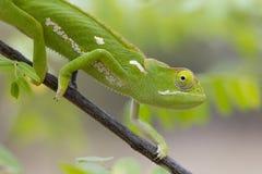 Klapowany Necked kameleon, Południowa Afryka (Chamaeleo dilepis) Fotografia Stock