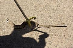 Klapperschlange, die gefangen genommen wird Stockbild