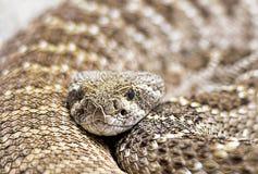 Klapperschlangennahaufnahmeporträt Stockbild