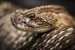 Klapperschlangennaher hoher Hauptschuß lizenzfreie stockfotografie
