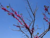 Klar blå himmel, blomningträd Arkivbilder