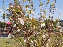 Klar blå himmel, blomningträd royaltyfria foton