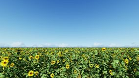 Klar blåttsky solrosor för fältblommaprydnad arkivfilmer