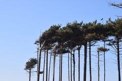 Klar himmel, högväxta träd Arkivfoto