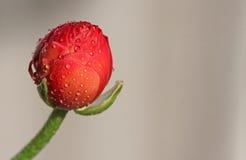 klar text för ranunculus Royaltyfri Fotografi