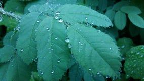 Klara regndroppar bildar delikata modeller på svänga ett försiktigt blad Royaltyfri Bild