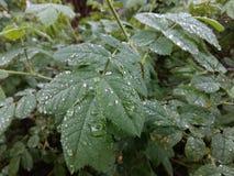 Klara regndroppar bildar delikata modeller på svänga ett försiktigt blad Royaltyfri Fotografi