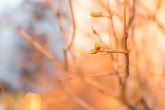 Klare Blumenknospen und junge neue Zeit der Blätter im Frühjahr lizenzfreies stockfoto