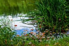 Klare Fallblätter, die in einen Teich schwimmen Lizenzfreies Stockfoto
