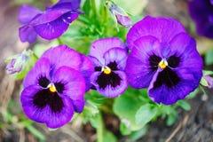 Klare Frühlingsfarben Pansy Flowerss gegen einen üppigen grünen Hintergrund Makrobilder Selektiver Fokus Lizenzfreies Stockbild