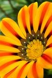 Klare gelbe Blume Lizenzfreies Stockbild