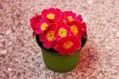 Klare rosa Blumen Lizenzfreies Stockfoto