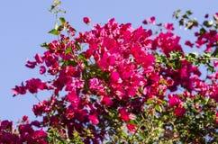Klare rote Bouganvilla-Blumen gegen einen blauen Himmel Lizenzfreies Stockfoto