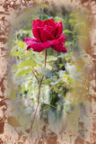 Klare Rotrose mit Tropfen des Taus auf den Blumenblättern lizenzfreies stockbild
