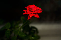 Klare Rotrose mit Tropfen des Taus auf den Blumenblättern Lizenzfreie Stockbilder
