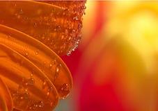 Klare Wasser-Tropfen auf orange Blumen-Blumenblättern Stockfotos