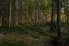 klarer Morgen im Wald Fichten- und Kieferwald mit tru lizenzfreie stockfotografie