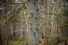 klarer Morgen im Wald Fichten- und Kieferwald mit tru stockfoto