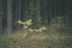 klarer Morgen im Wald Fichten- und Kieferwald mit tru lizenzfreie stockfotos