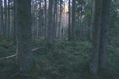 klarer Morgen im Wald Fichten- und Kieferwald mit tru lizenzfreie stockbilder
