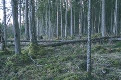 klarer Morgen im Wald Fichten- und Kieferwald mit tru stockbild