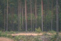 klarer Morgen im Wald Fichten- und Kieferwald mit tru lizenzfreies stockbild