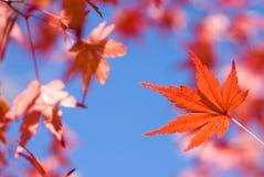 Klares rotes Herbst-Ahornblatt Stockbilder