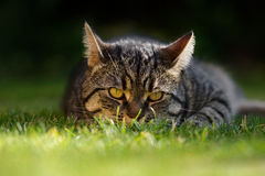 KLarge Male Tabby Cat with Ears Back Royalty Free Stock Photography